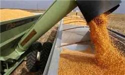 خریداری  ۸۰۰ تن گندم از کشاورزان میاندورودی