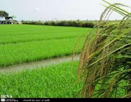 تولید ۱۰۰۰ تنی بذر گواهی شده برنج در مازندران/ ورود بخش خصوصی به تولید بذر