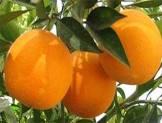 ردپای دلالان در عرضه میوه های زودرس با روش های مصنوعی