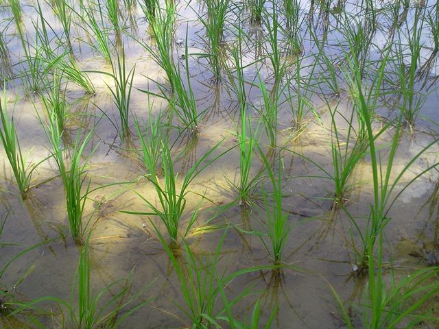 تصاویری از مزارع برنج وصیفی جات وشهر تاریخی کیاسر