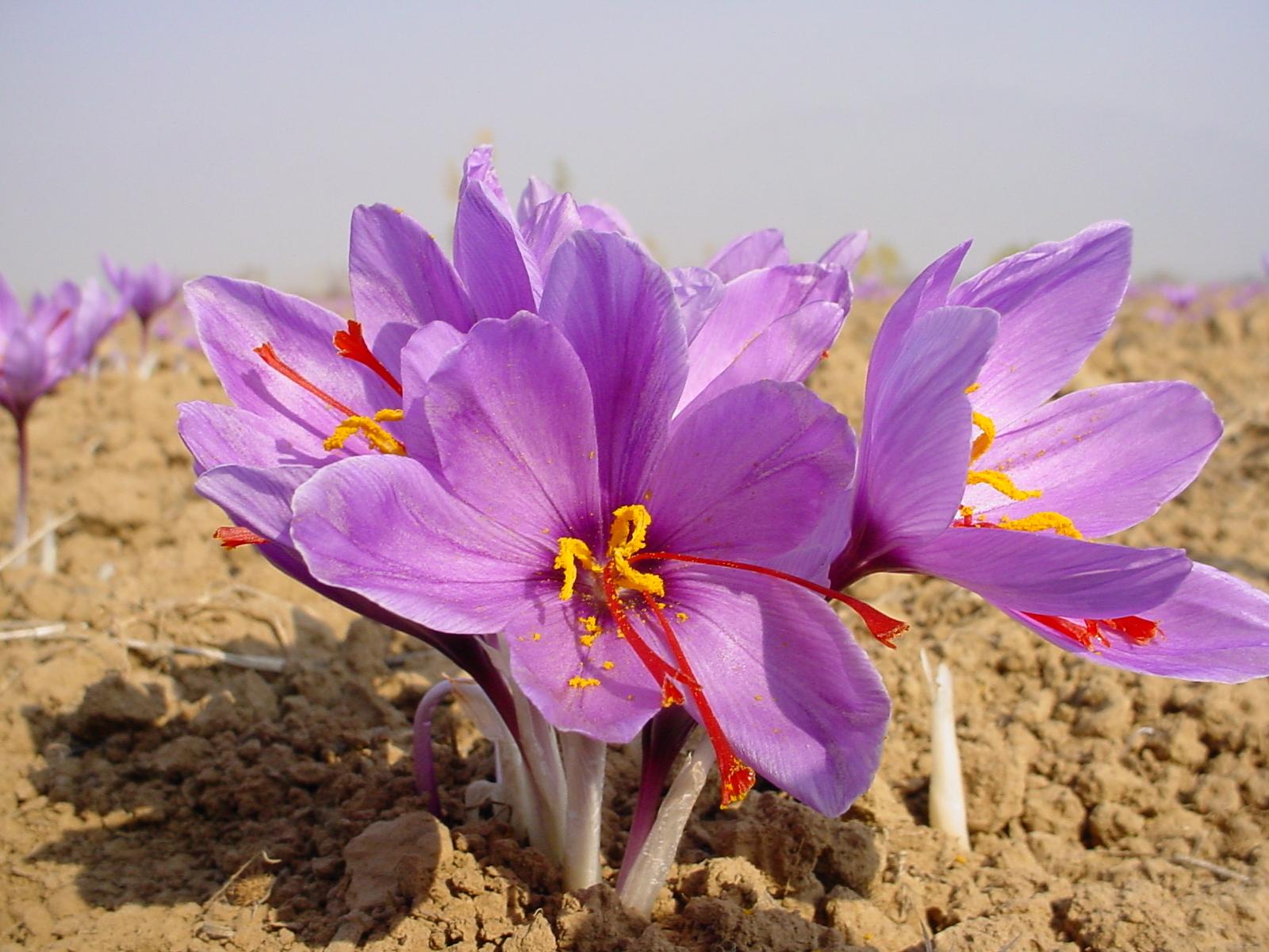 آغاز برداشت زعفران ازمزارع چهاردانگه /گزارش تصویری