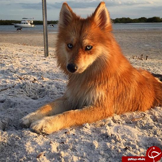 یکی از زیبا ترین سگ های جهان را حتما ببینید+تصاویر