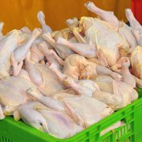 تولید ۳۰۰۰ تن گوشت سفید در نور/ تولید ۵۰۰ میلیاردی