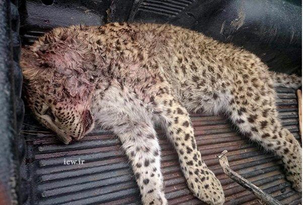 مرگ سوال برانگیز پلنگ ماده در مازندران