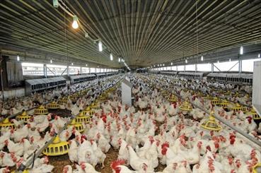 ۵۰۰ واحد مرغداری در مازندران غیرمجاز هستند