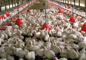مرغداران از نگهداری مرغ با وزن بالا خودداری کنند