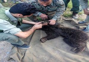 بازگشت یک قلاده توله خرس به پناهگاه حیات وحش ساری