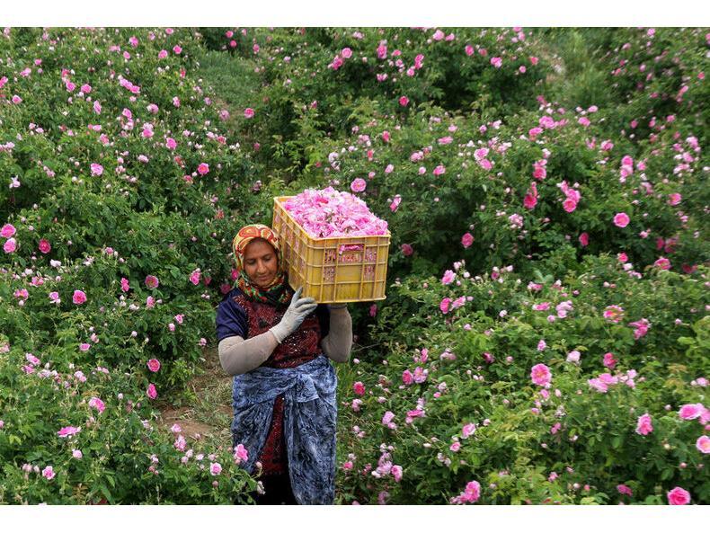 گلستان 280 هکتاری گل محمدی در ساری/ درآمد 450 میلیونی در هر هکتار