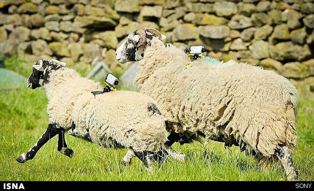 افزایش سرعت اینترنت با استفاده از گوسفندها! +عکس