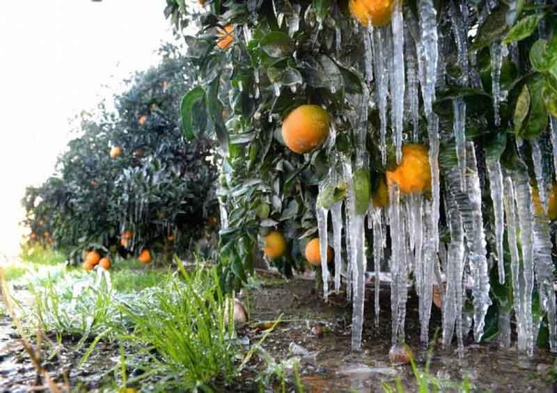 """""""تاکید بر اتخاذ تمهیدات لازم جهت کاهش خسارت ناشی از سرمازدگی باغات مرکبات از سوی باغداران"""""""