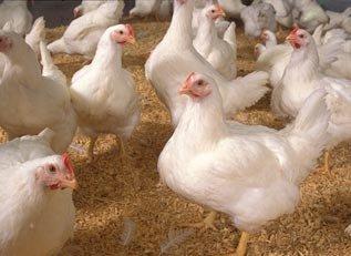 آخرین نرخ تخم مرغ و مرغ زنده